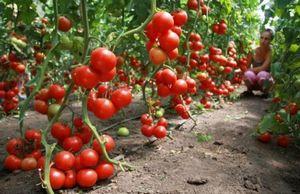 Уход за помидорами в теплицах