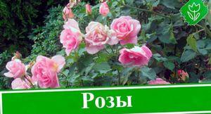 Уход за садовыми розами осенью (в сентябре и октябре): что важно знать?