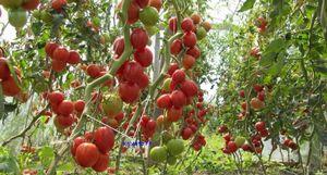 Ультраскороспелые сорта томатов: описание и особенности выращивания