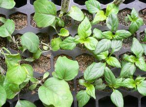 Ускоряем прорастание семян