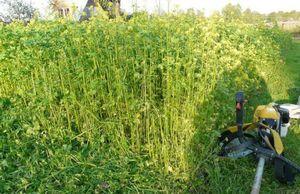 В чем польза для огорода и сада от горчицы, как сидерата
