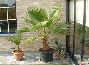 Вашингтония нитчатая: как вырастить пальму дома?