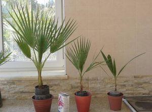 Вашингтония нитеносная: описание растения и особенности выращивания