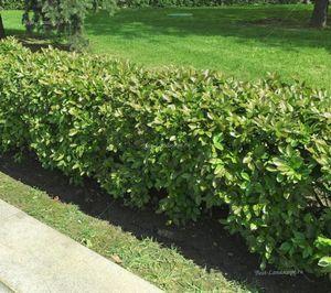 Вечнозеленая живая изгородь – изысканный декоратор