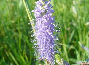 Вероника длиннолистная - красивое лекарственное растение для вашего сада
