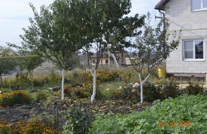 Весенние хлопоты в саду. побелка деревьев