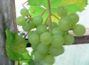 Виноград алешенькин - высокоурожайный столовый сорт