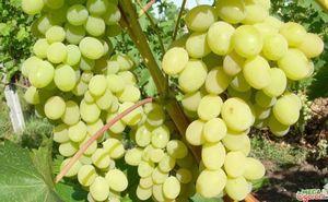 Виноград августин - раннеспелый столовый сорт на вашем участке