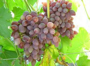 Виноград бажена: особенности сорта, выращивания и правильный уход для хорошего урожая
