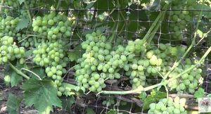 Виноград элегант: особенности сорта, размножение и уход