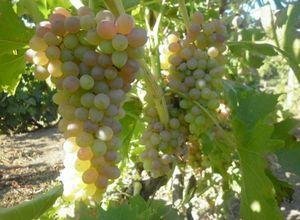 Виноград валентина: размножение и правильный уход