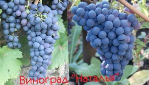 Виноград викинг: описание, посадка, выращивание и уход