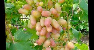 Виноград виктор - описание сорта и особенности выращивания