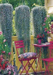 Виола: выращивание из семян для дачи