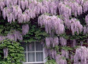 Вистерия (глициния) - для роскошного оформления сада