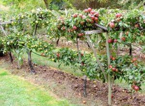 Внесение минеральных и органических удобрений в саду