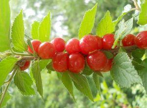 Войлочная вишня выращивание из косточек 76