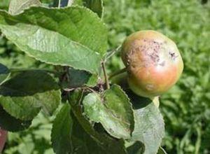 Вредители; проволочник и огородные блошки на участке, способы борьбы