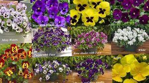 Все что необходимо знать о цветах диморфотека