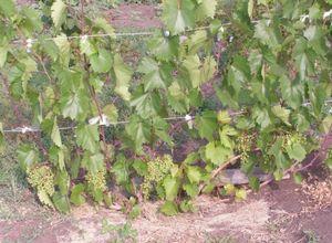 Все, что нужно знать о выращивании винограда - правильная посадка и уход