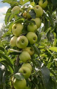 Все о стройных колонновидных яблонях и грушах