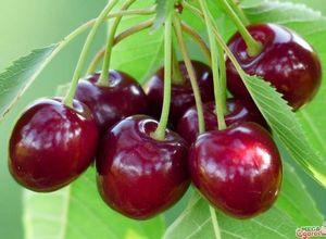 Все о вишне - агротехника и полезные свойства
