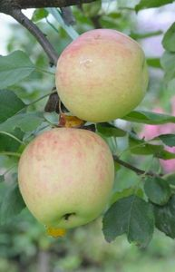 Всё, что нужно знать о яблонях на карликовом подвое