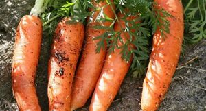 Выбираем лучший сорт моркови: сорта с описанием и отзывами