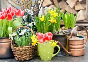 Выгонка нарциссов и тюльпанов к новому году