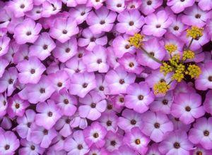 Выращиваем флоксы: выращивание из семян, посадка весной + уход