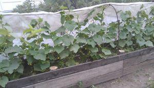 Выращиваем огурцы на компостных грядках