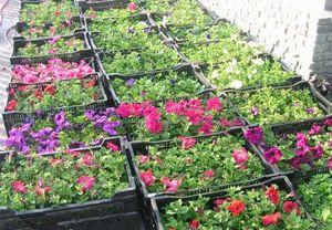Выращиваем рассаду цветов в домашних условиях