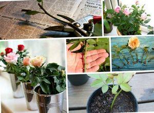 Выращиваем розу с помощью черенков