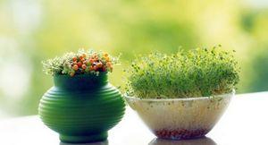 Выращиваем зелень на огороде и на подоконнике