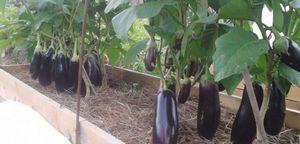 Выращивание баклажан в теплице – выбираем лучшие сорта