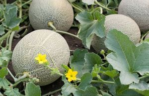 Выращивание дыни канталупы: подготовка почвы, посадка и уход