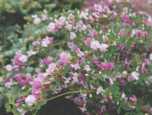Выращивание гибискуса в теплице: выбор сорта, посадка и уход