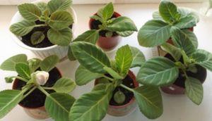 Выращивание глоксинии из семян: подготовка семян, посев и уход