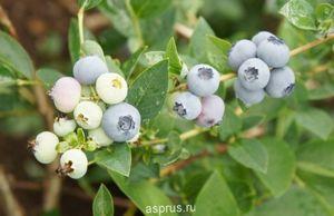 Выращивание голубики блюкроп: описание сорта, фото ягод, отзывы опытных огородников