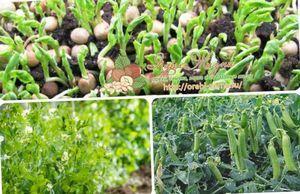 Выращивание гороха в теплице: схема посадки семян, уход