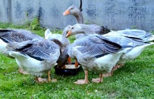 Выращивание и содержание гусей.