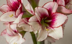 Выращивание и уход за цветком амариллис, методы размножения, борьба с вредителями