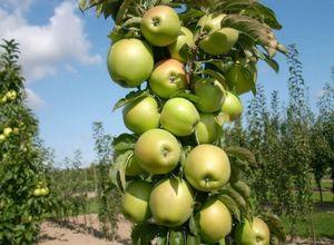 Выращивание яблони из семян и правила ухаживания за ростком