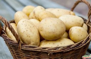 Выращивание картофеля: подготовка клубней и методы посадки