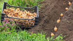Выращивание картофеля. технология