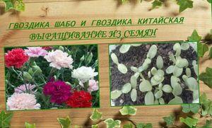Выращивание китайской гвоздики на продажу: уход за цветами в теплицах