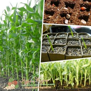 Выращивание кукурузы на даче: посадка семенами и рассадой