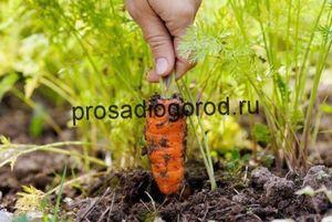 Выращивание моркови из семян