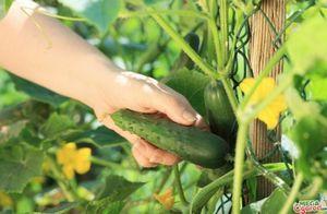 Выращивание огурцов: какой сорт самый урожайный?
