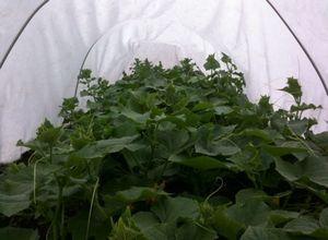 Выращивание огурцов в открытом грунте.